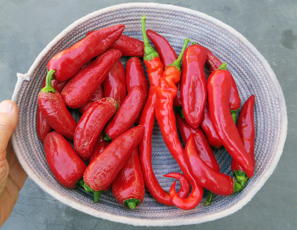peppers for paprika