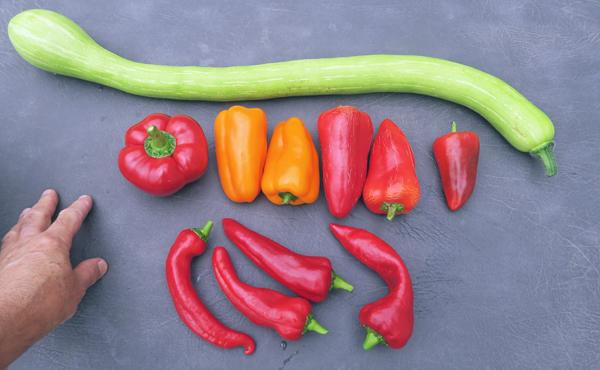 Pritavit, Glow, Cece, Lipstick and Carmen peppers with tromboncino squash