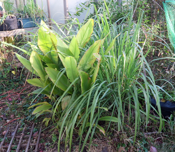 Turmeric plants