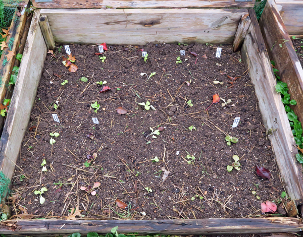 cold frame bed newly planted with lettuce