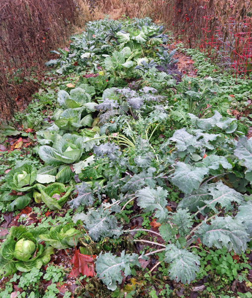 fall brassica beds