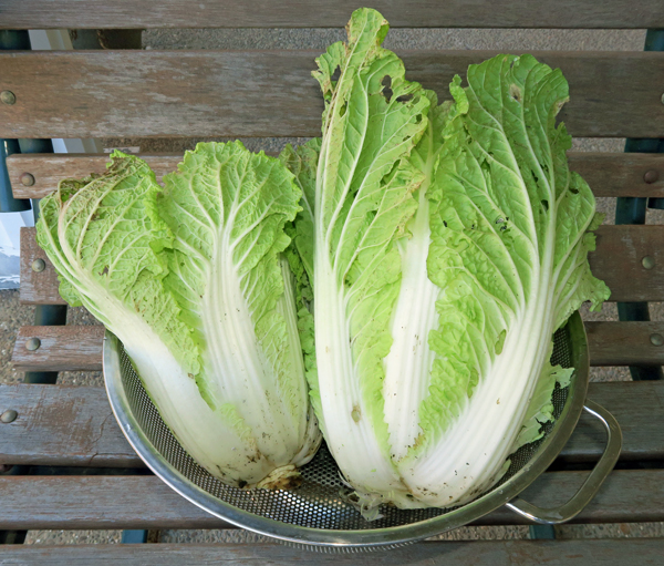 Minuet cabbage