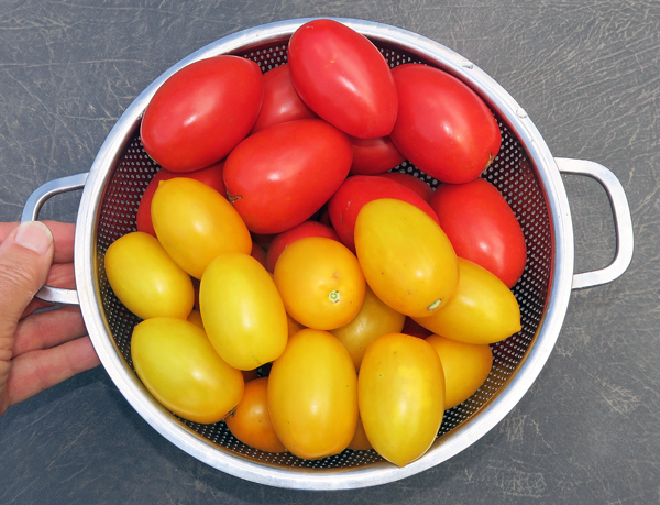 Viva Italia and Golden Rave tomatoes