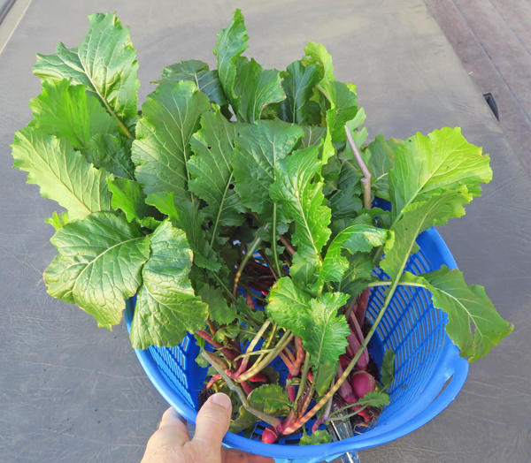 Scarlet Queen Red Stems turnips