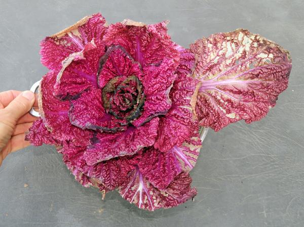 Scarlette cabbage