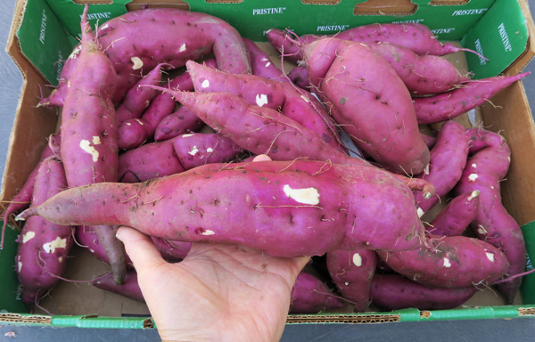 Korean Purple sweet potatoes