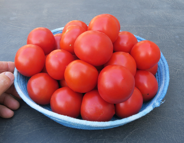 Red Racer cocktail tomatoes