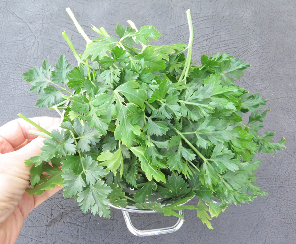 Splendid parsley