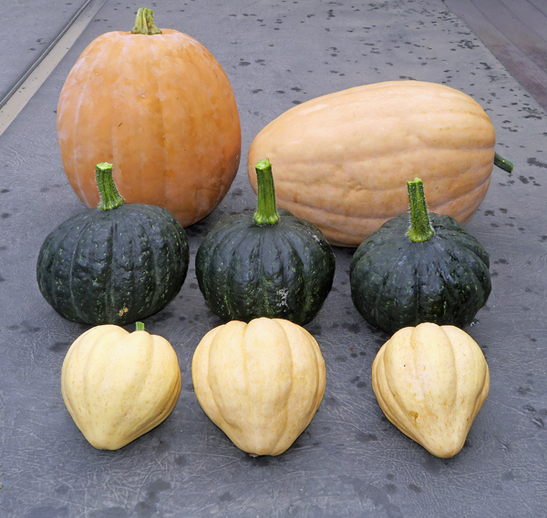 Dickinson, Tetsukabuto and Thelma Sanders winter squashes