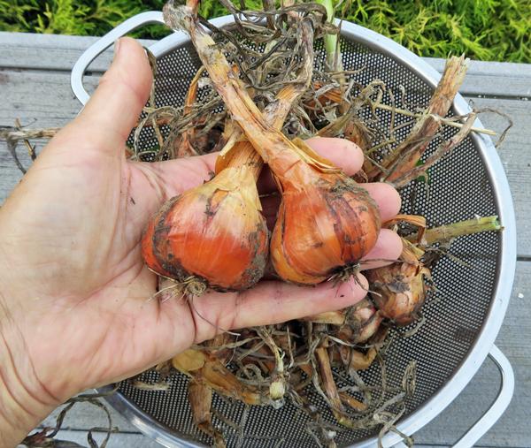 Yellow Potato Onions