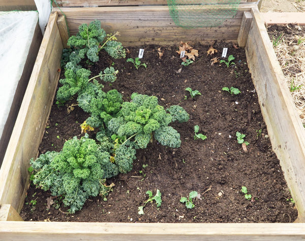 kale in the cold frame bed