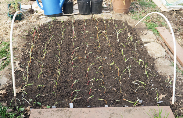 onion bed after planting