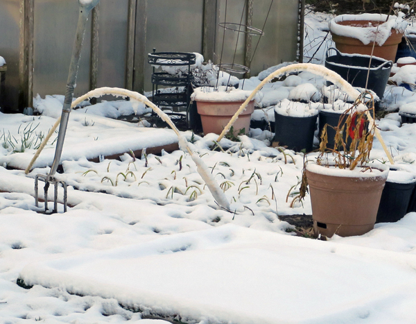 snow covered onions