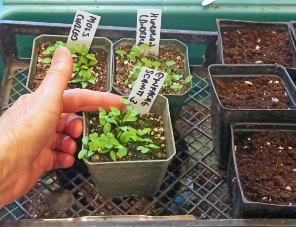 parsley ready for transplanting