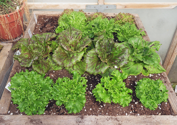 salad box with lettuce