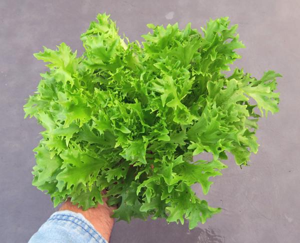 Salanova Green Sweet Crisp lettuce
