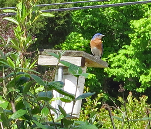 bluebird male looking for a mate
