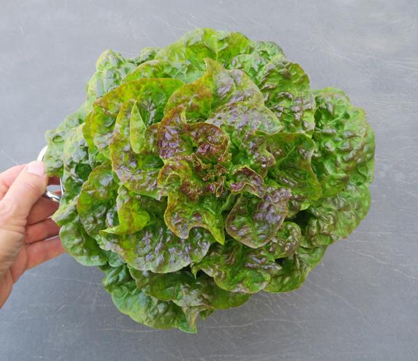 Crawford Bibb lettuce