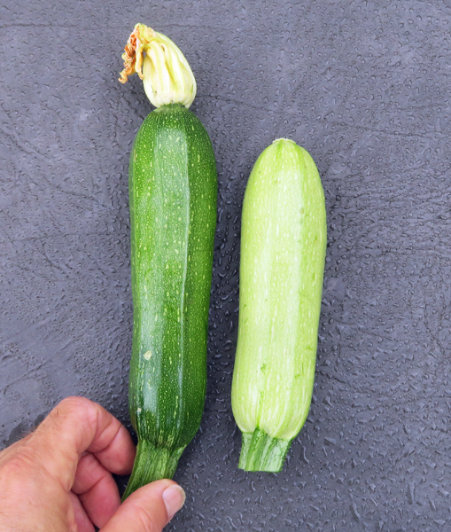 first summer squash of 2018