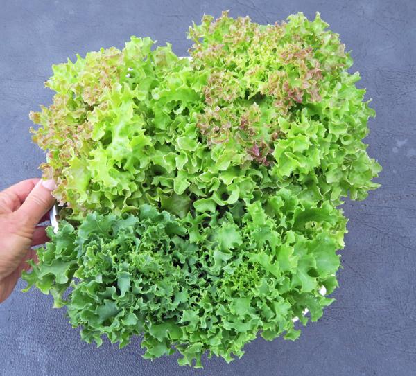Tango type lettuces