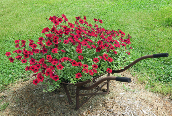 Tidal Wave Red Velour petunias