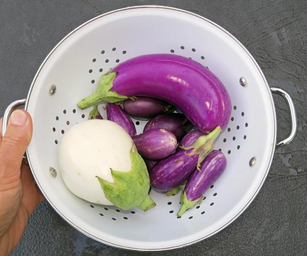 harvest of eggplant