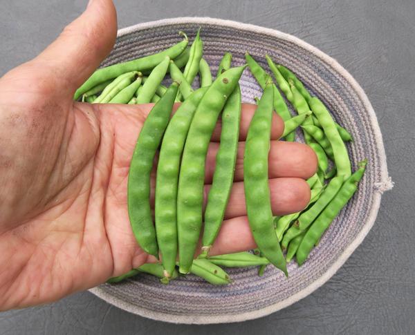 Bertie Best Greasy Beans