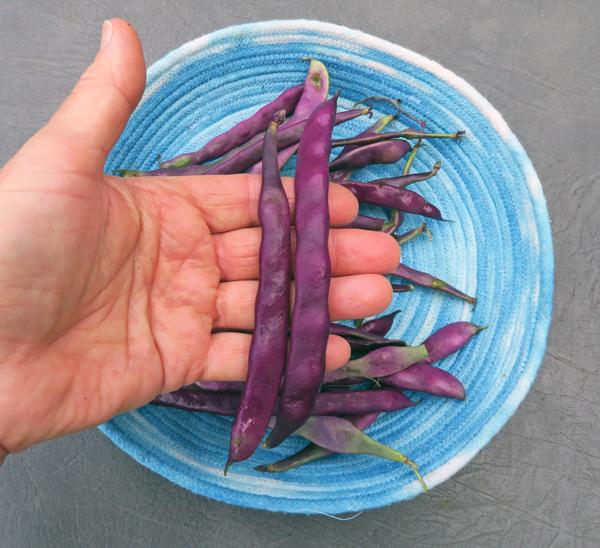 Blauhilde beans