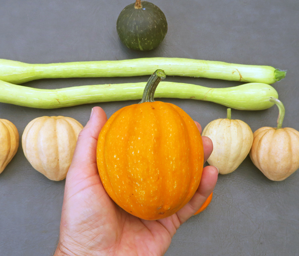 Gill's Golden Pippin squash