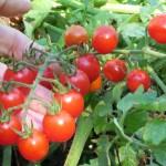 Jasper tomato