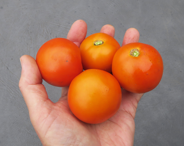 Perfect Flame tomatoes