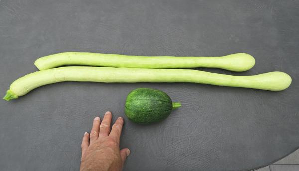 tromboncino and Tatume squash