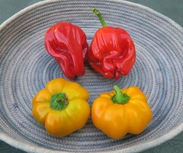 Criolla de Cocina and PASS peppers