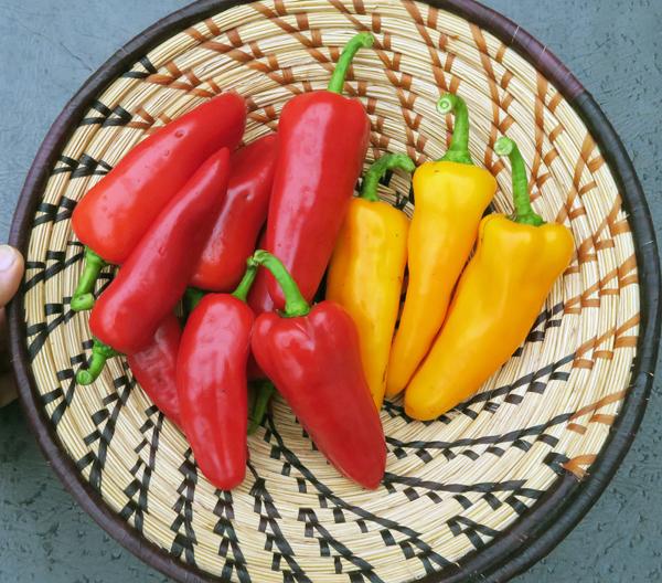 Cornito Rosso and Cornito Giallo peppers