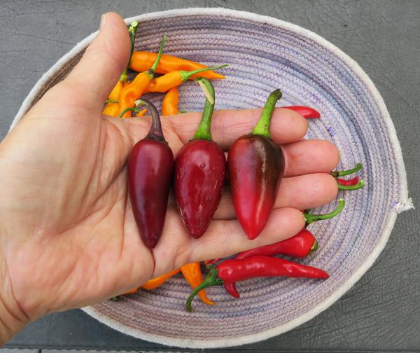 Czech Black peppers