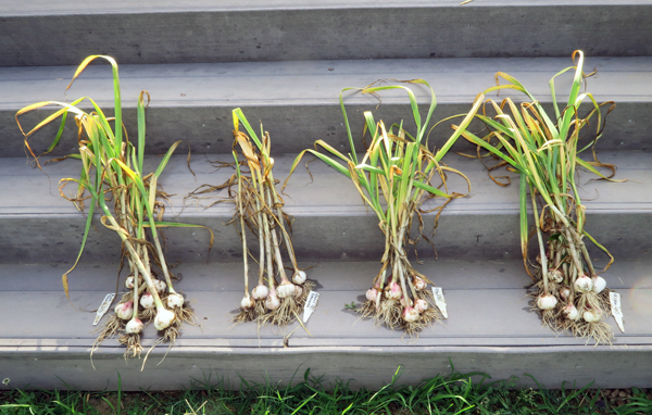 harvesting the early garlic