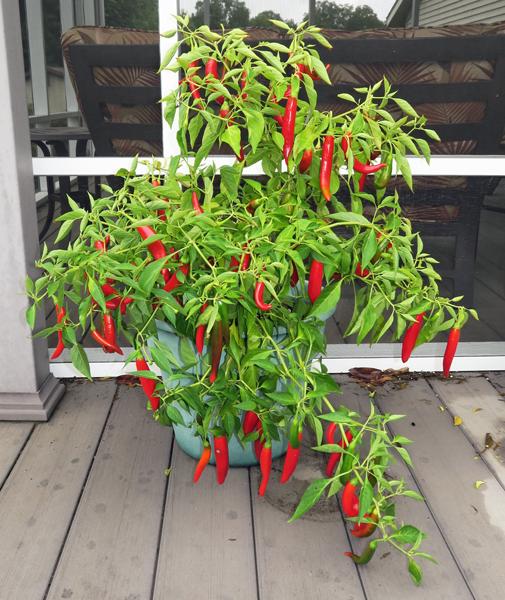Kimchi pepper plant