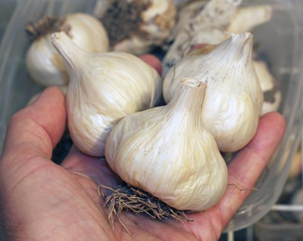 Sicilian Silver garlic