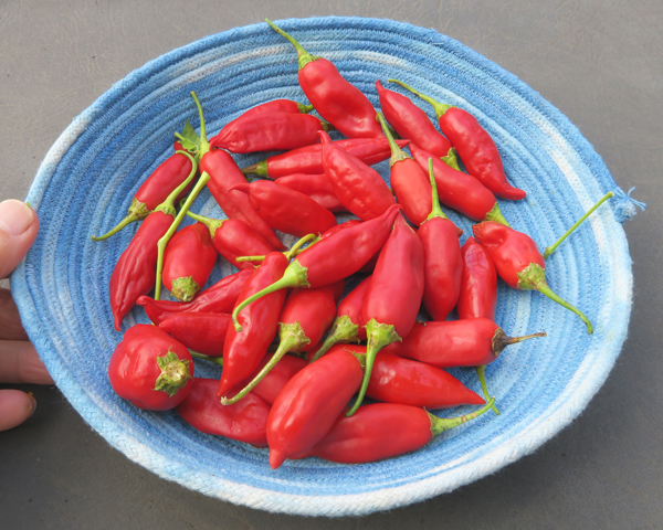 Aji Rico peppers