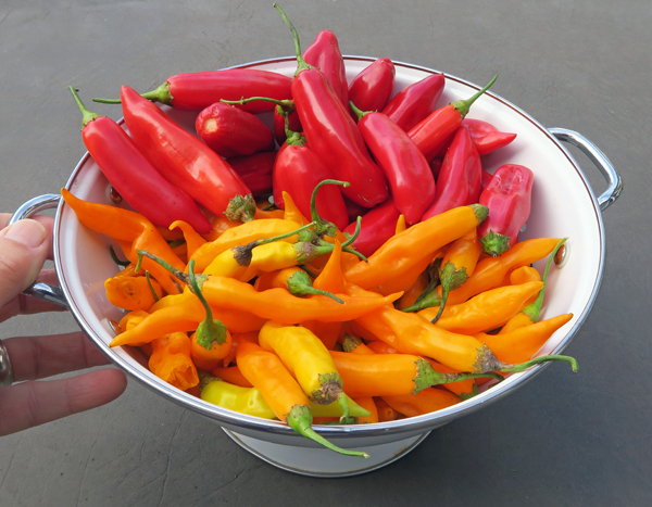 baccatum peppers