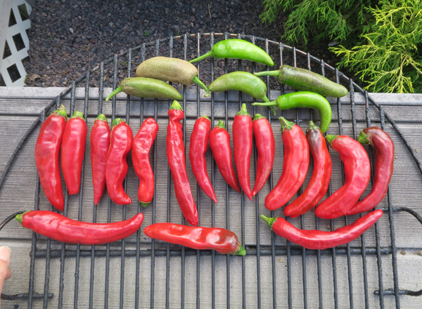 peppers ready for smoking