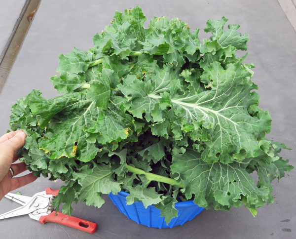 Beedy's Camden and White Russian kale