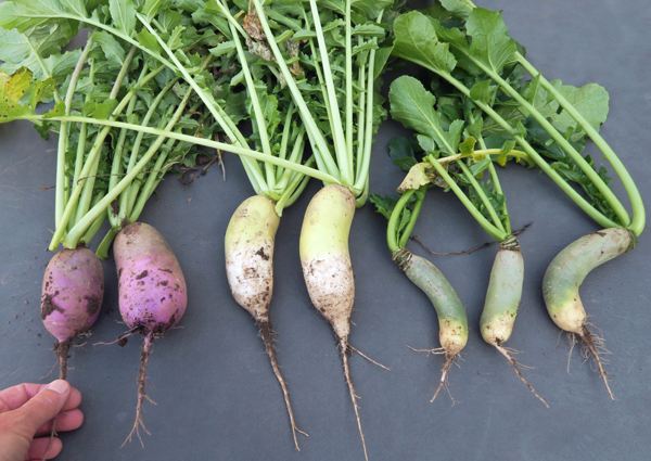 KN Bravo, Alpine and Green Luobo radishes