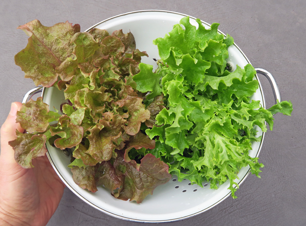 Red Sails and Tango lettuce