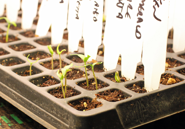 peppers coming up in plug tray