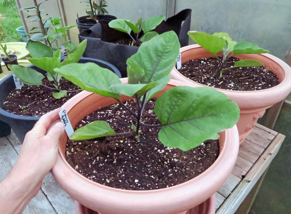 container grown eggplant
