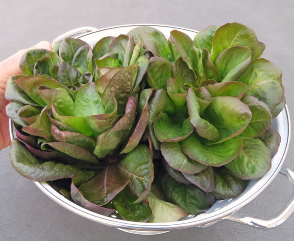 Salanova Red Butter lettuce