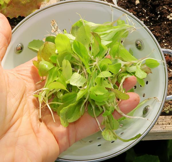 lettuce thinnings