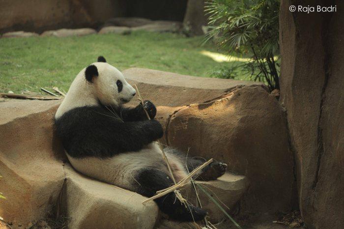 Feng Yi enjoying her bamboo