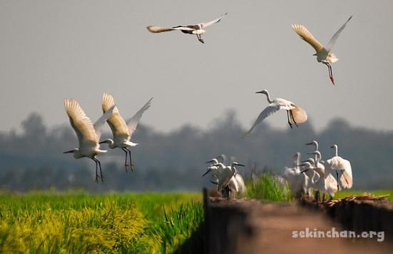 heron-bird-flying-at-sekinchan-paddy-field